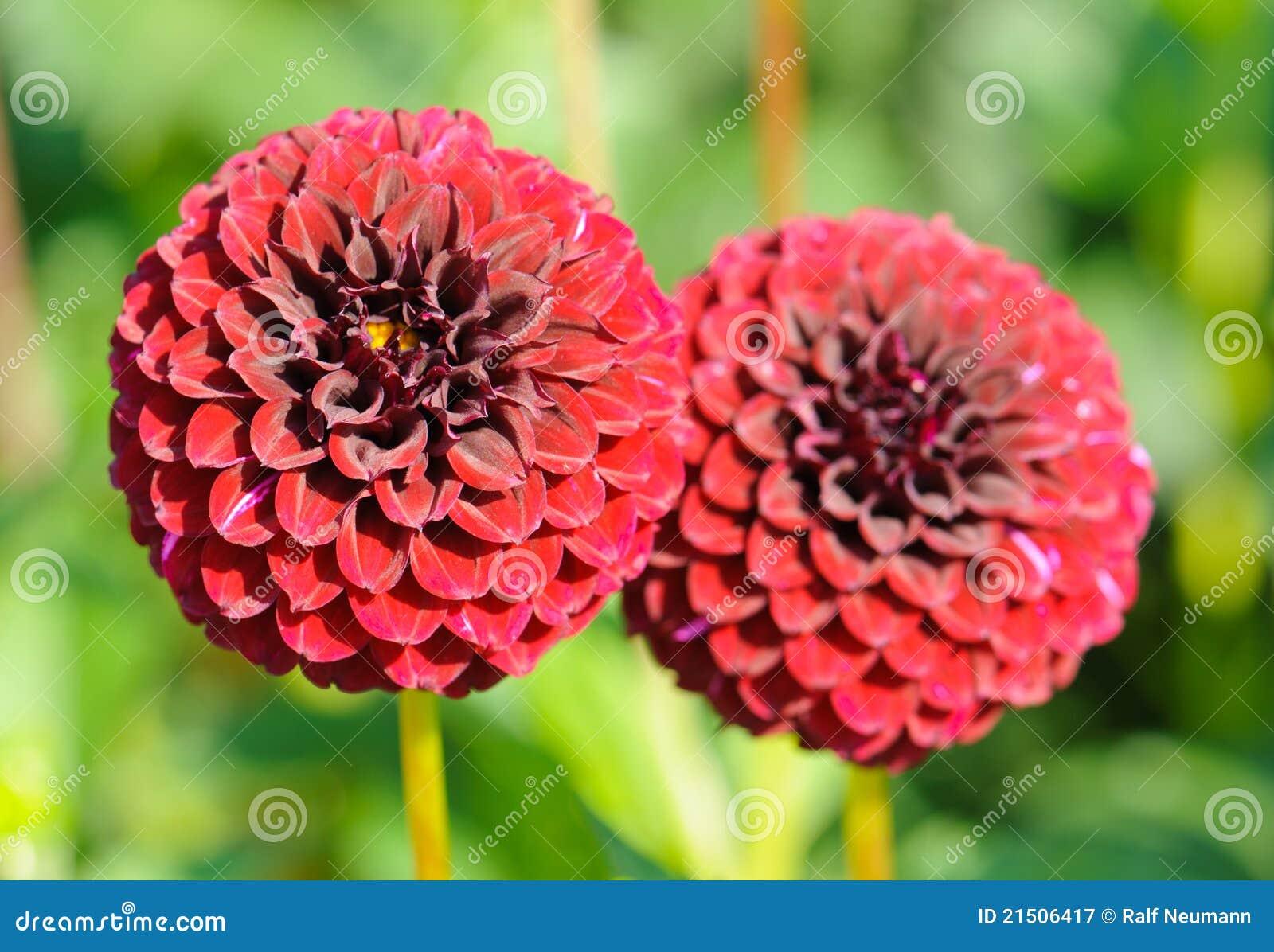 Fiori di una dalia rossa del giardino fotografia stock - Fiori di giardino ...