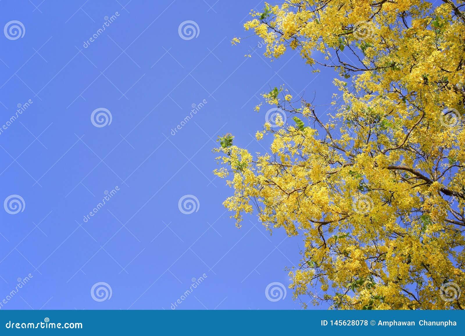 Fiori dorati variopinti del ratchaphruek o della doccia che fioriscono sopra