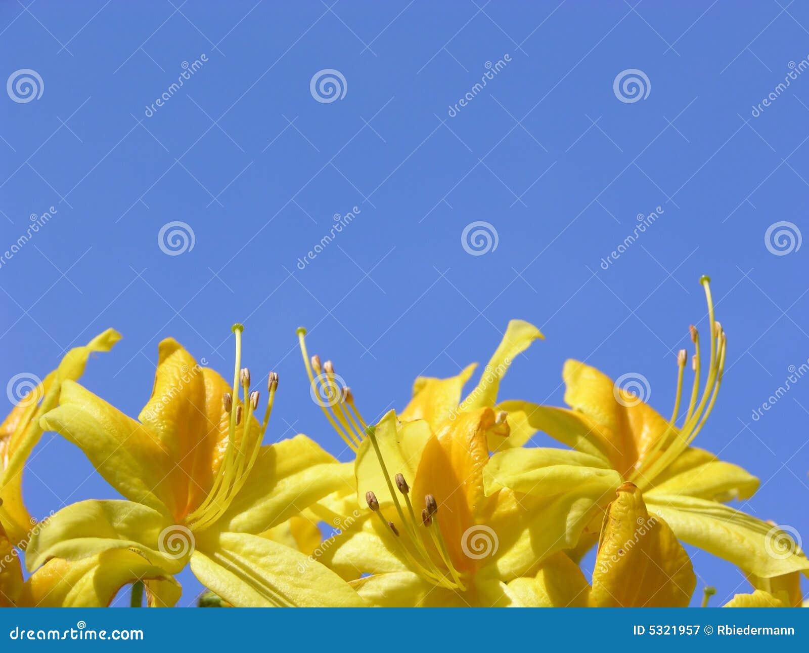 Download Fiori E Cielo Blu Del Rododendro Immagine Stock - Immagine di pianta, nave: 5321957