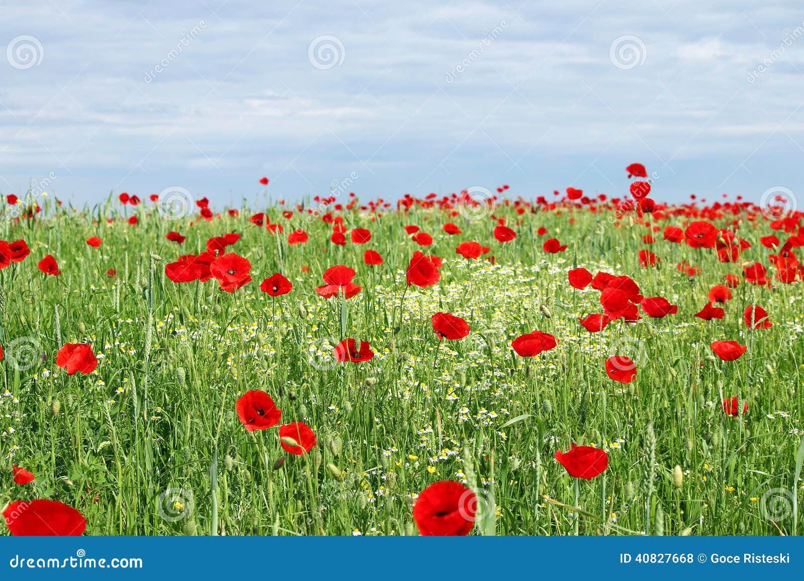 Fiori e cielo blu verdi del papavero di campo fotografia for Fiori verdi