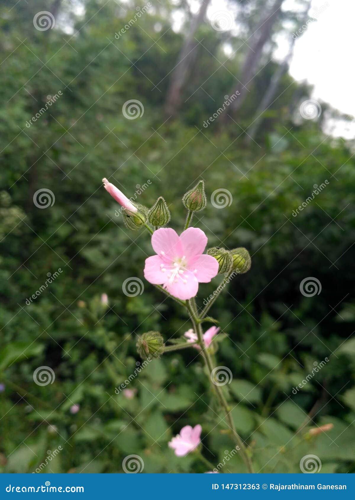 Fiori e germogli rosa-chiaro sulle piante del giardino