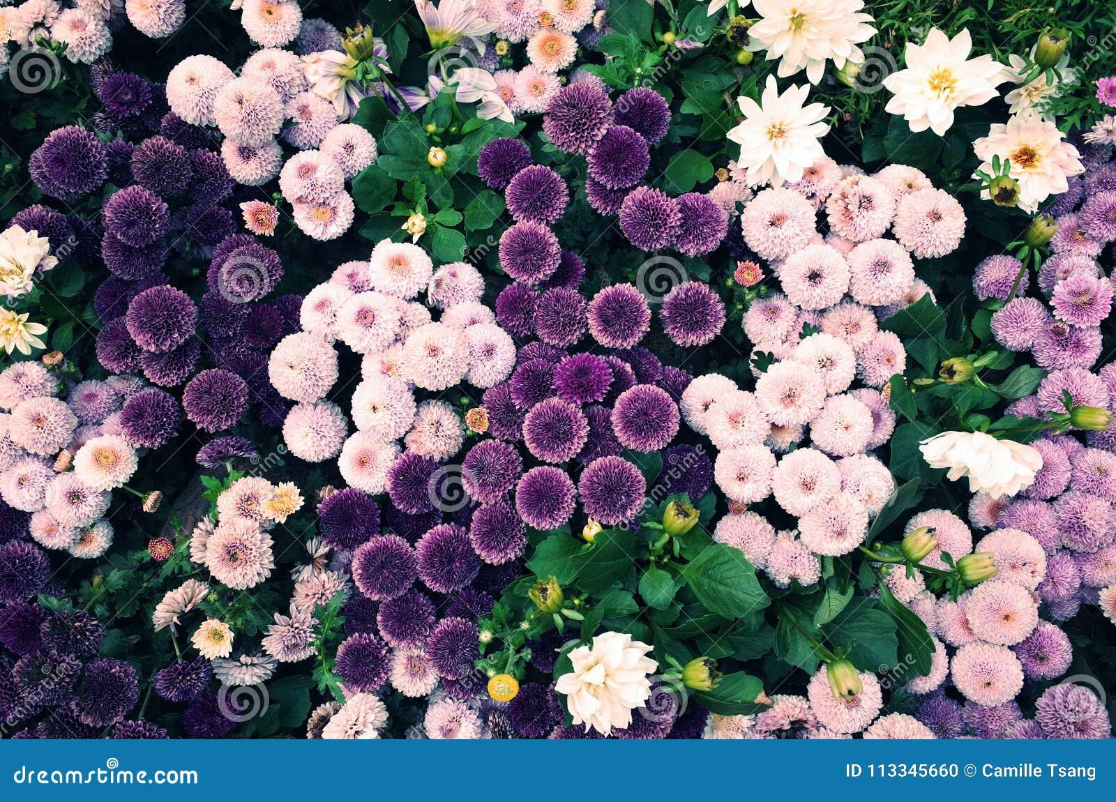 Fiori A Palla.Fiori A Forma Di Palla Viola Fotografia Stock Immagine Di