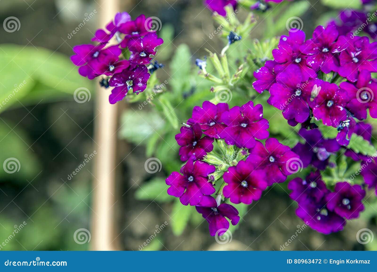 Fiori Fucsia.Fiori Fucsia Fotografia Stock Immagine Di Background 80963472
