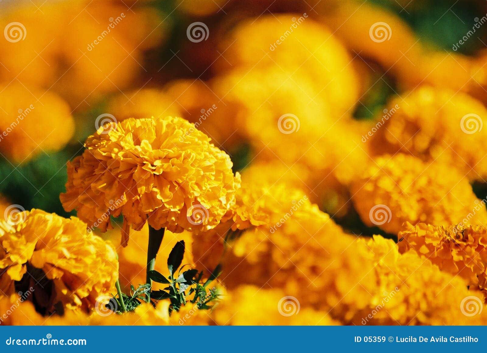 Fiori Gialli Giardino.Fiori Gialli Immagine Stock Immagine Di Fiore Molla Delicato 5359