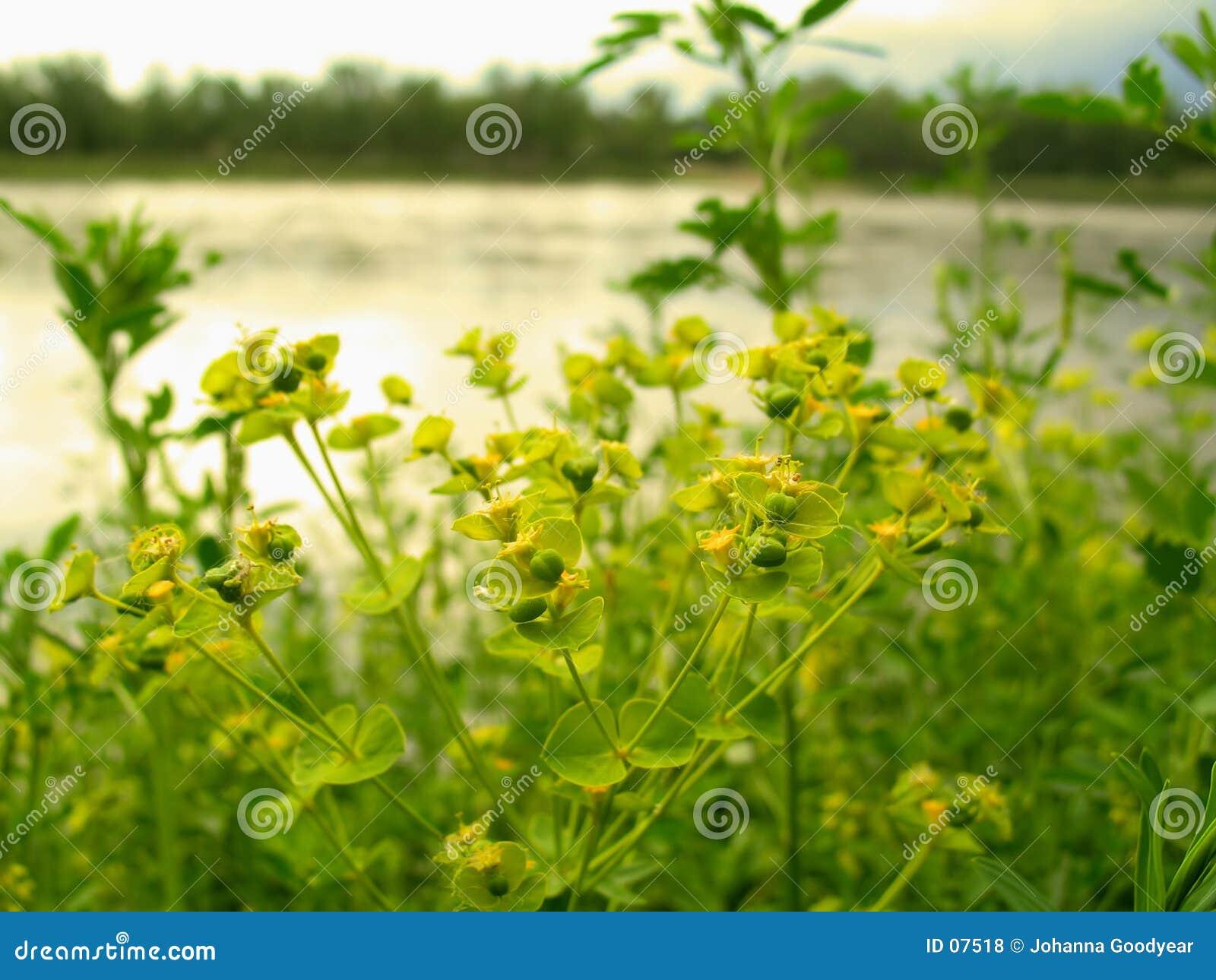 Download Fiori gialli fotografia stock. Immagine di piota, acqua, fine - 7518
