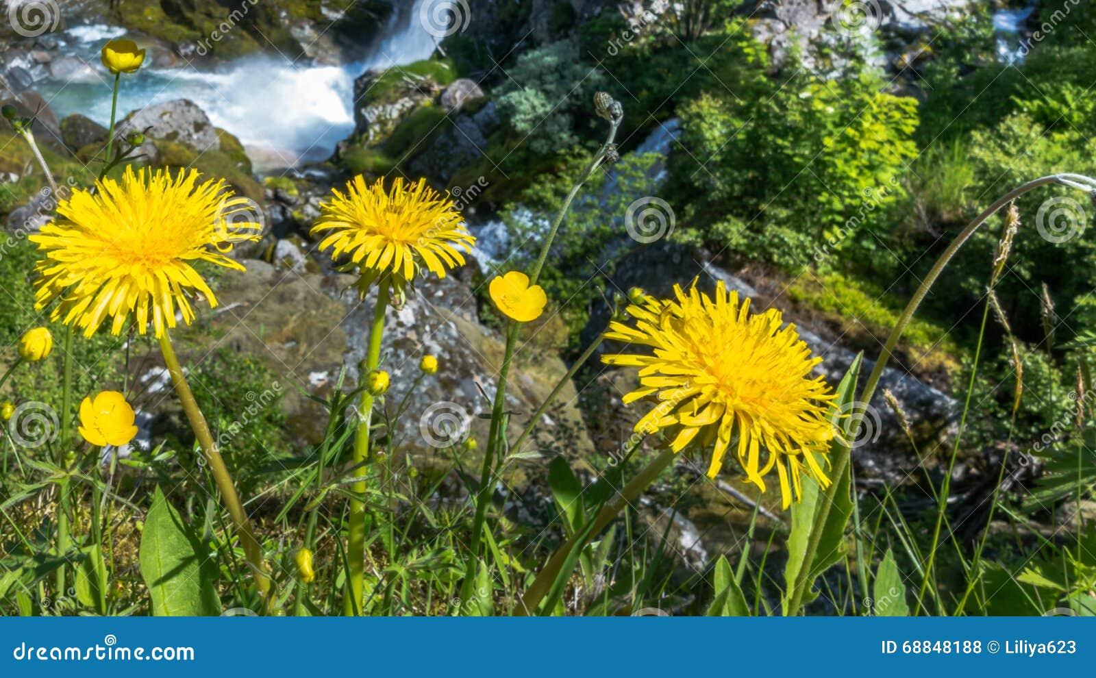 fiori gialli montagna