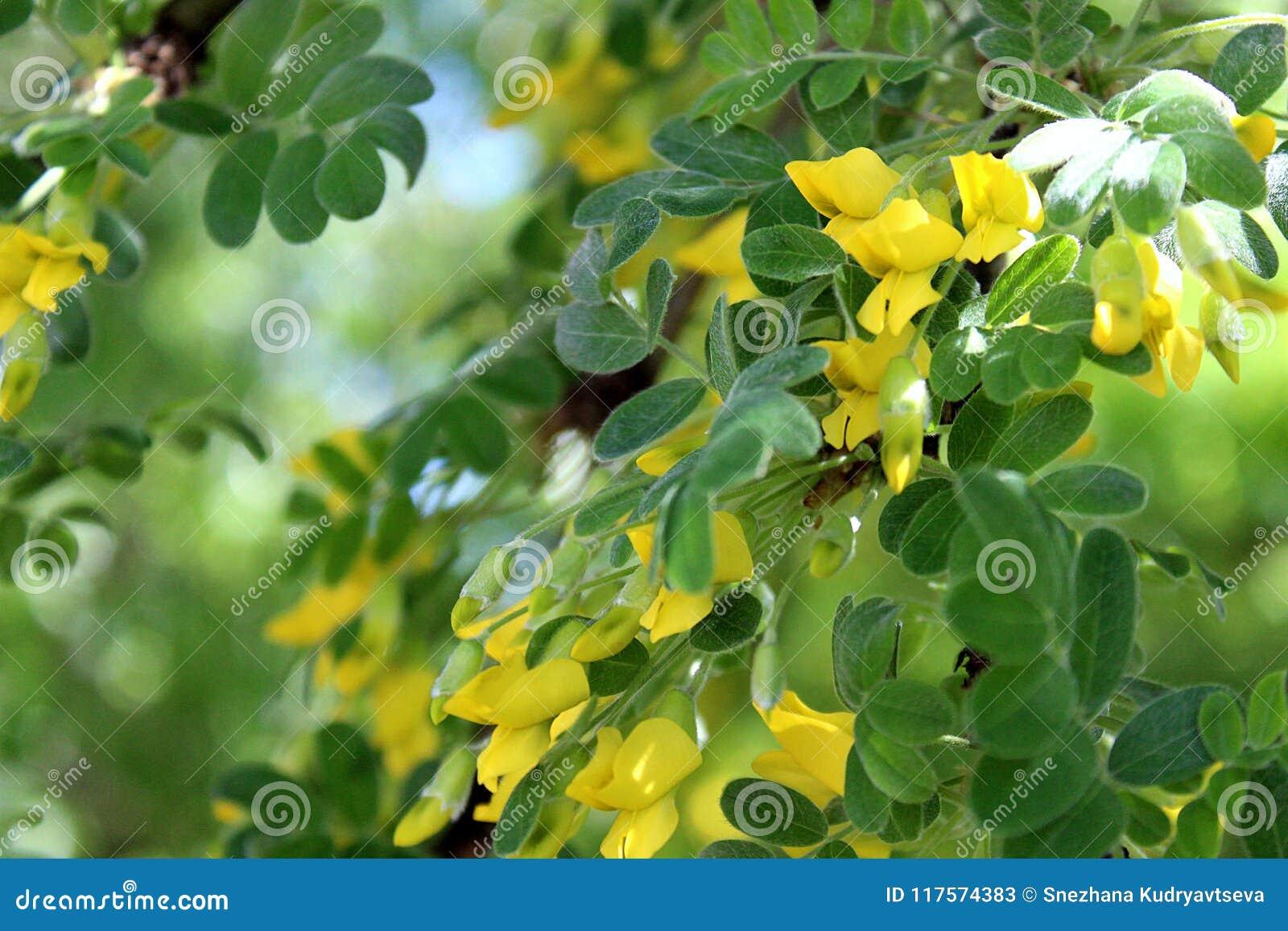 Fiori Gialli Cespuglio.Fiori Gialli Del Cespuglio Dell Acacia In Molla Tarda Immagine