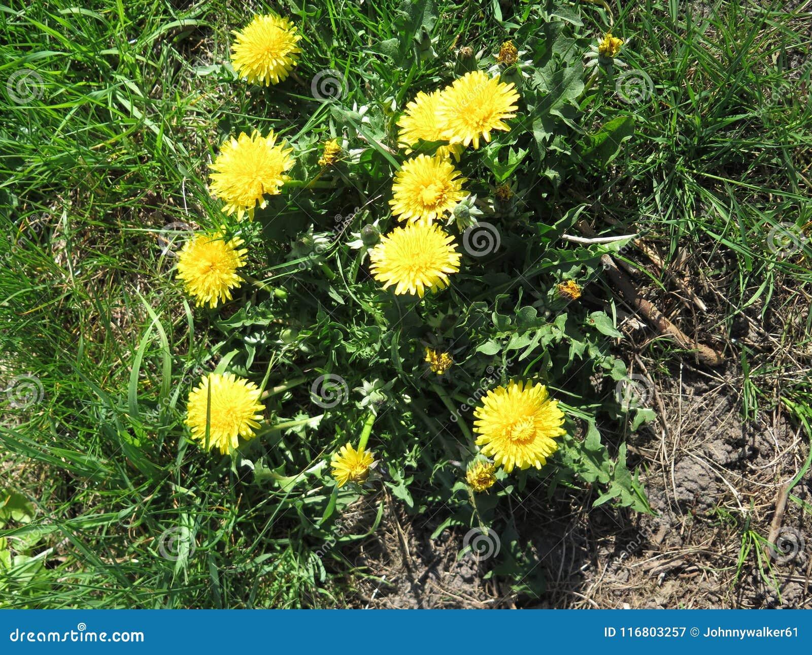 Fiori gialli del dente di leone