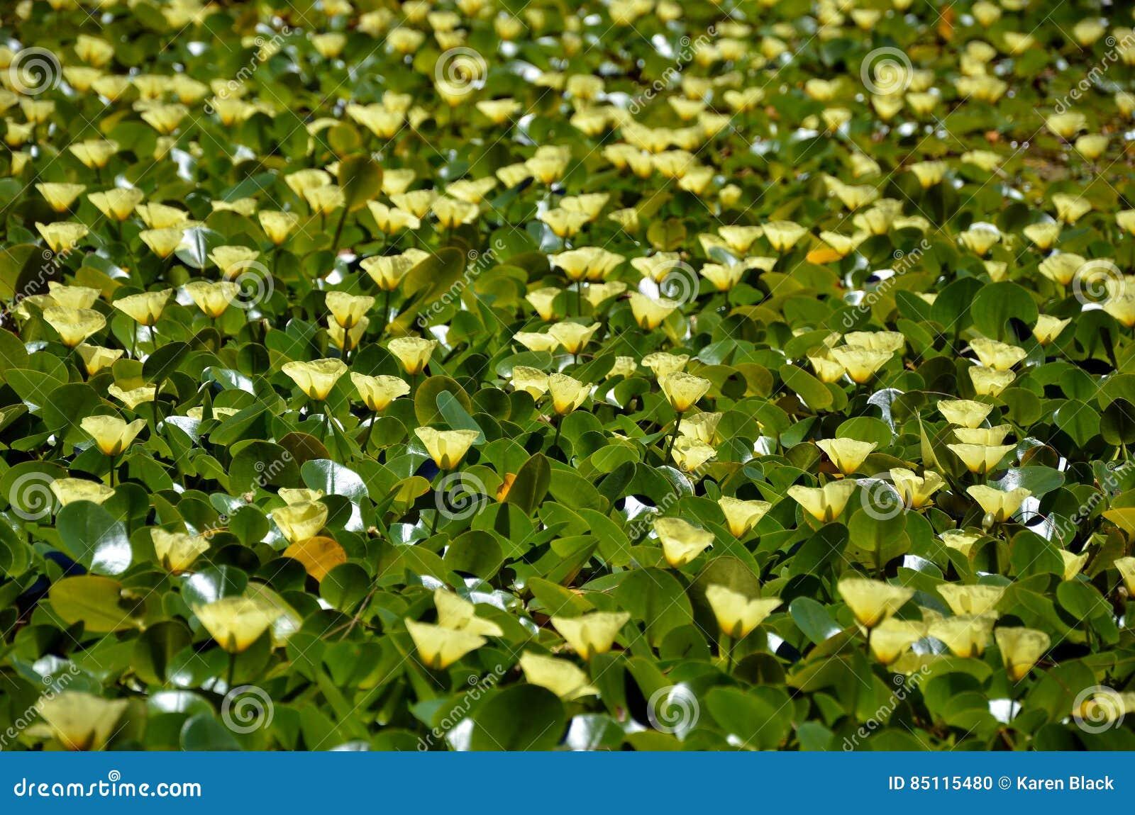 Fiori Gialli Acquatici.Fiori Gialli Del Papavero Acquatico Dell Acqua Fotografia Stock
