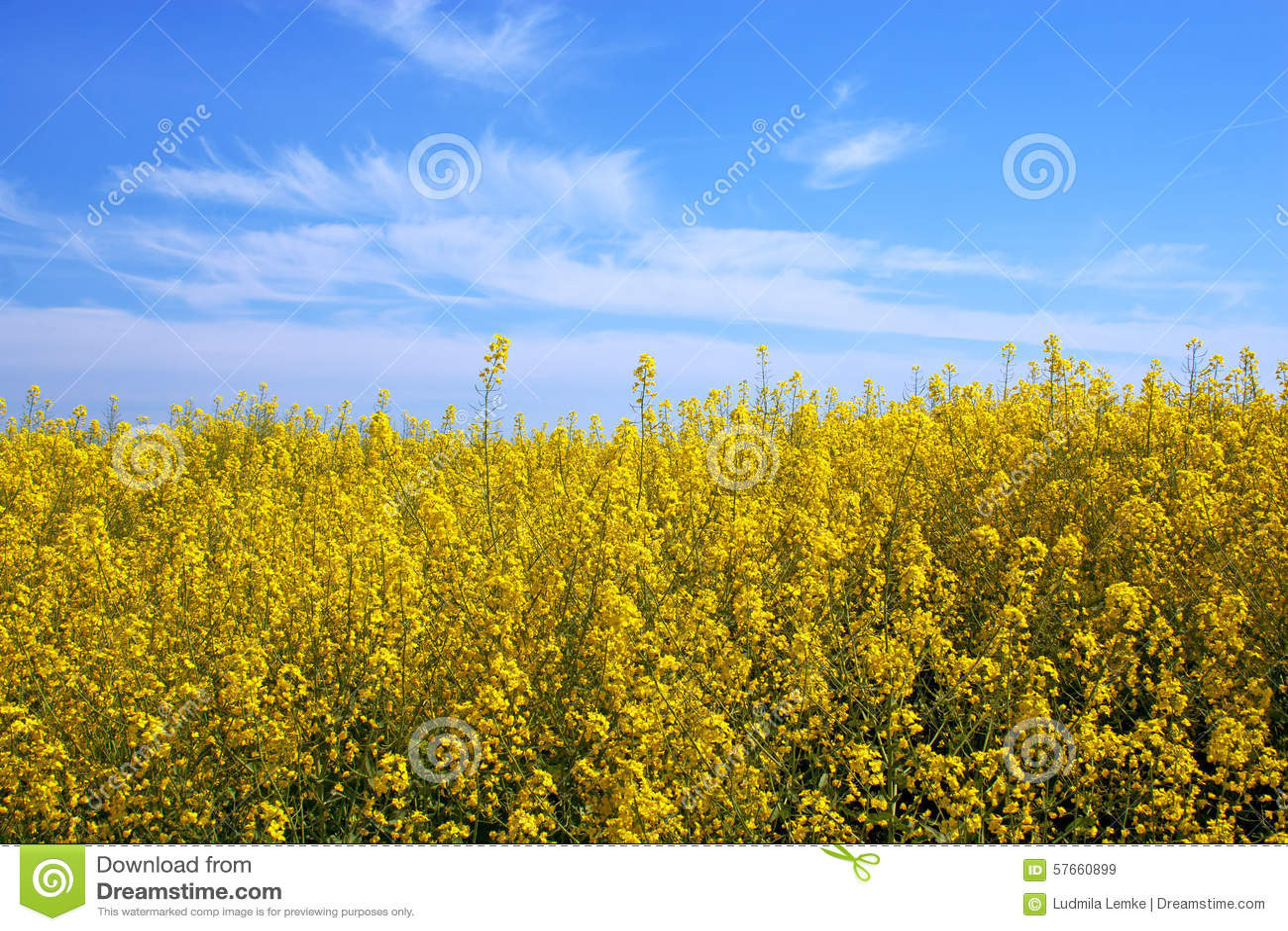 Fiori gialli del seme di ravizzone sul campo