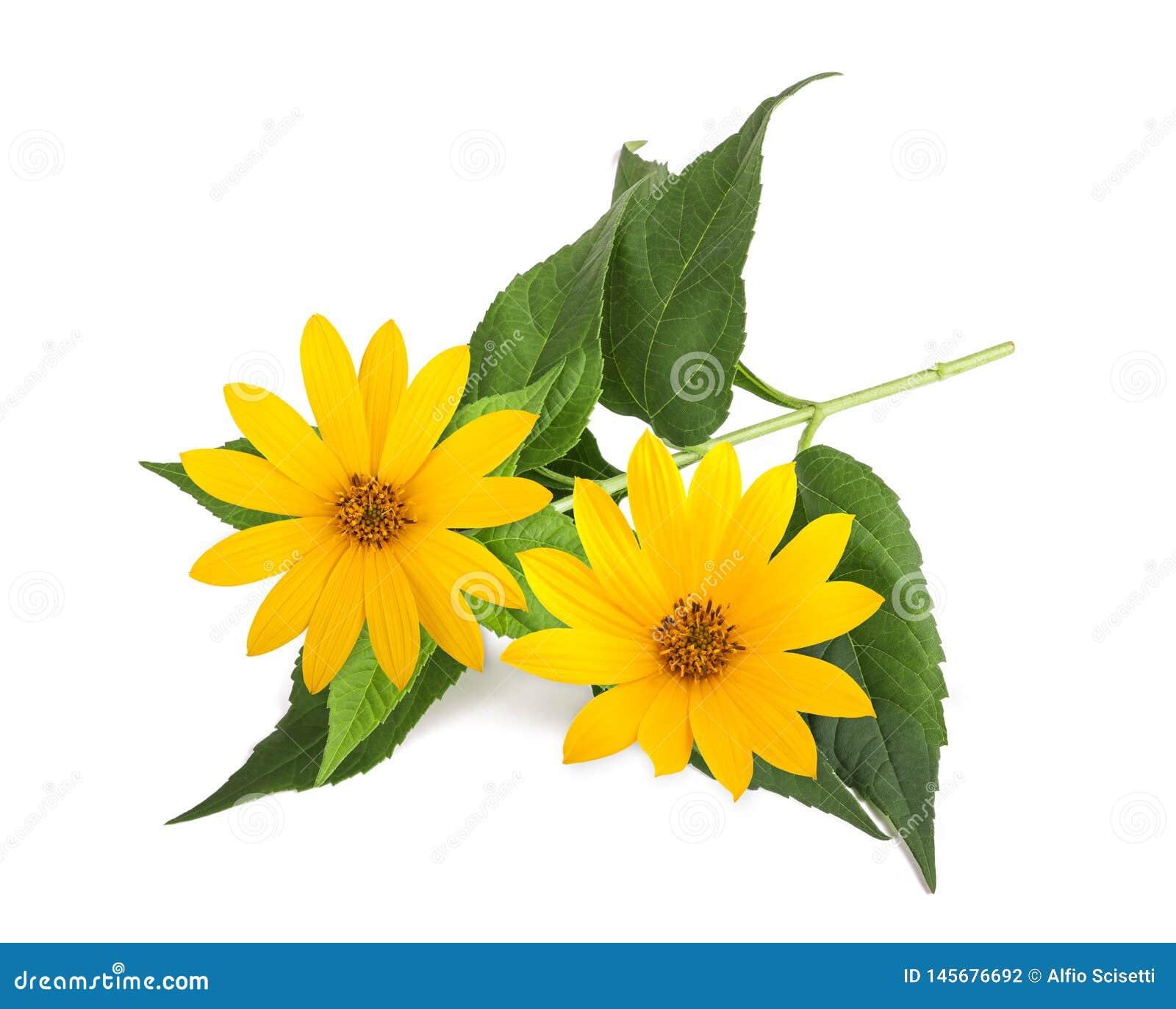 Fiori gialli del topinambur