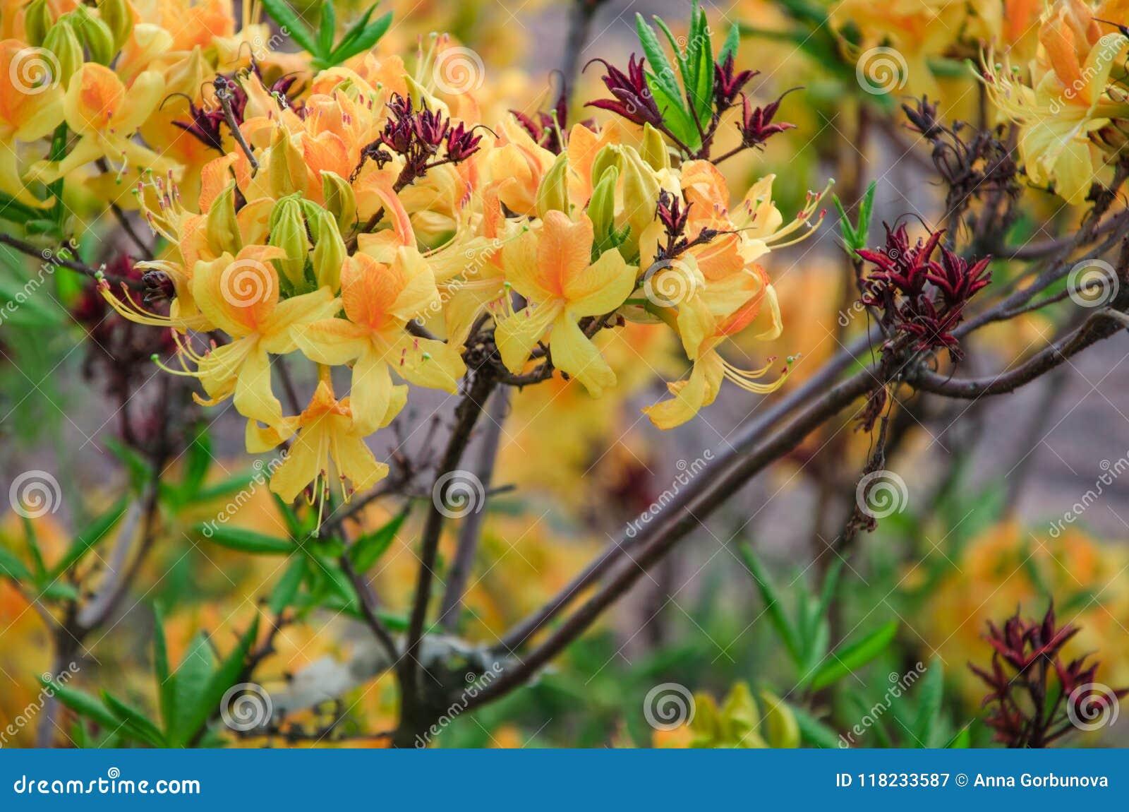 Fiori gialli dell azalea contro lo sfondo delle foglie verdi