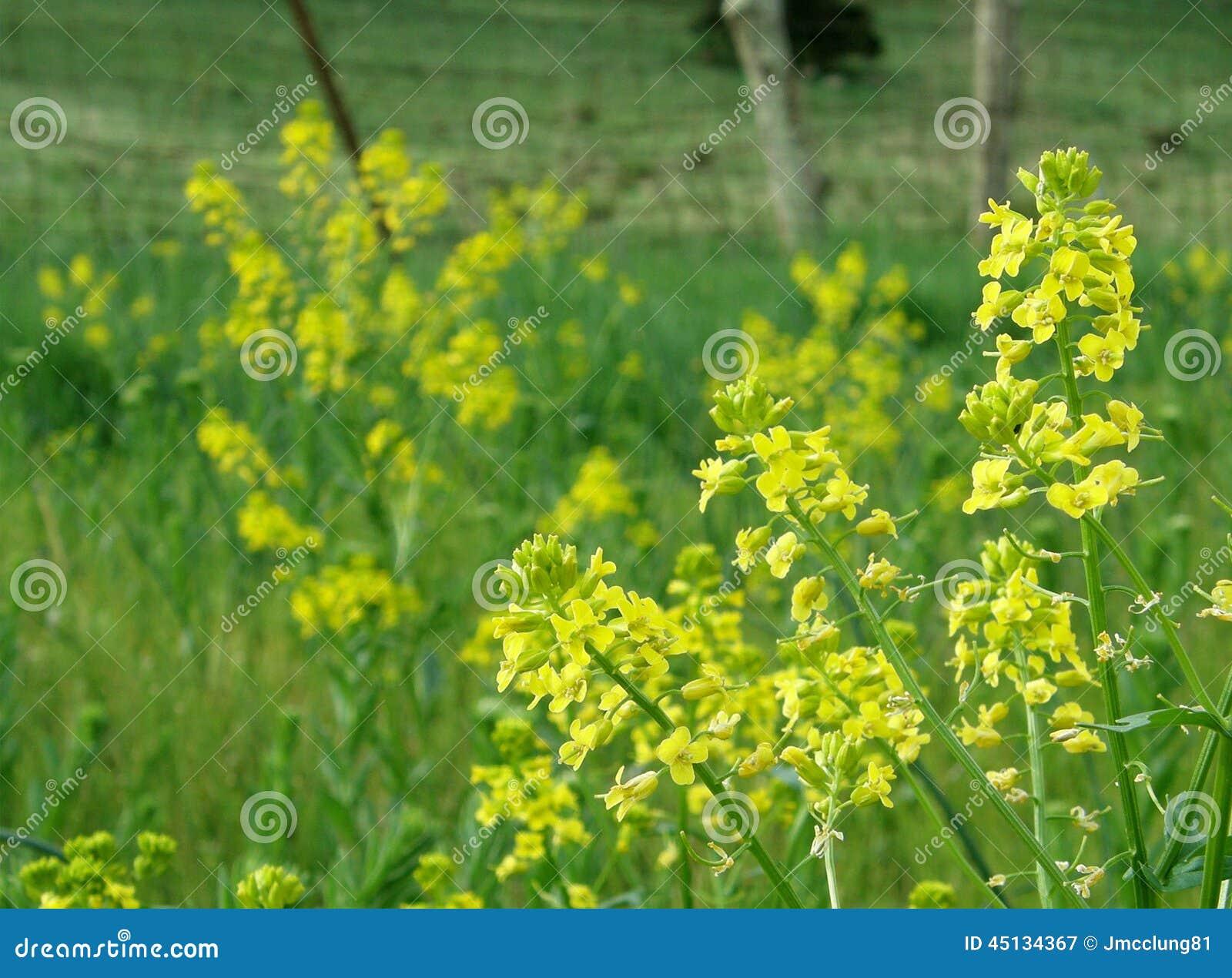 Fiori Gialli Della Pianta Della Senape Fotografia Stock - Immagine: 45134367