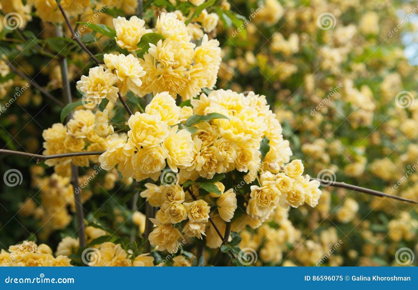 Rampicante Fiori Gialli.Fiori Gialli Della Rosa Rampicante Immagine Stock Immagine Di