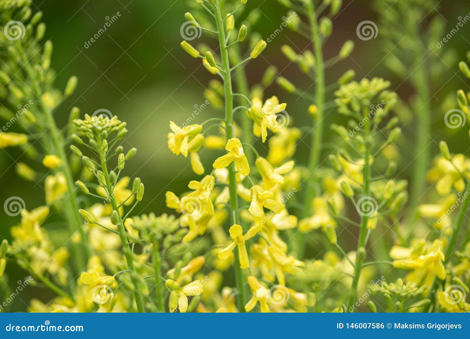 Fiori gialli di cavolo riccio per la raccolta seguente del seme nel giardino di primavera