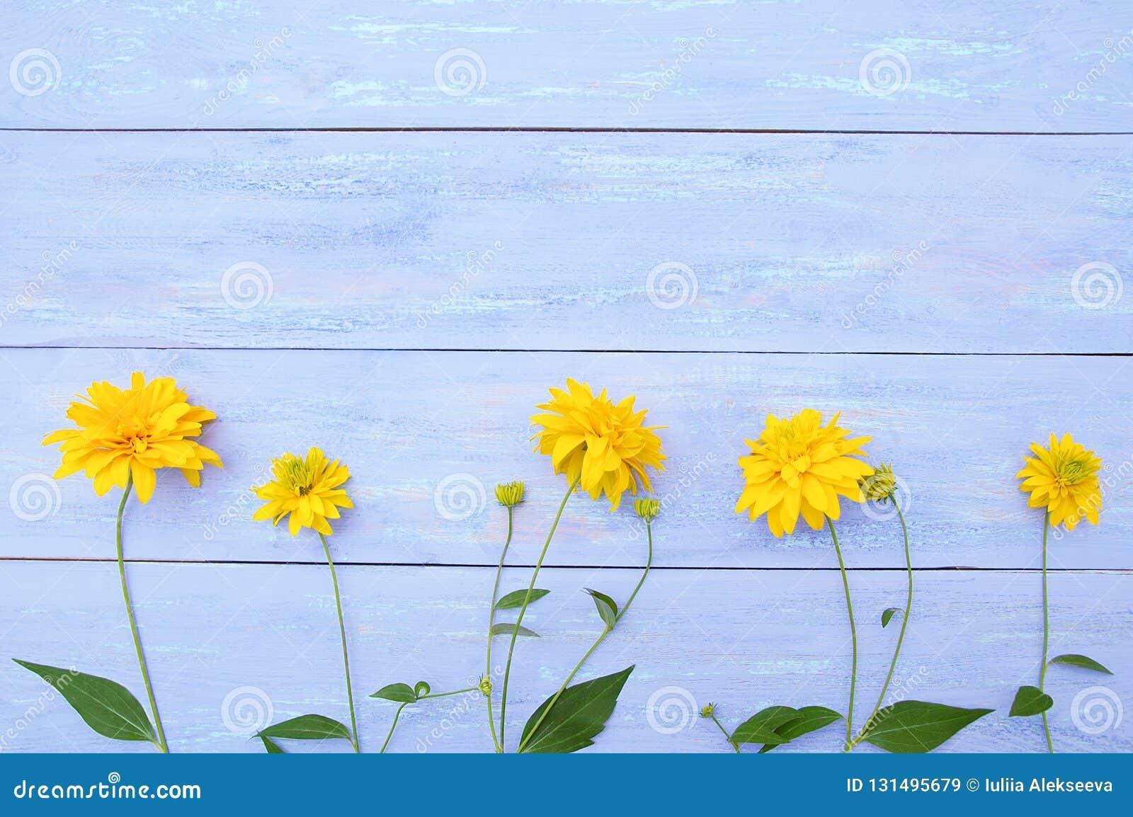 Fiori gialli di Heliopsis su fondo di legno blu