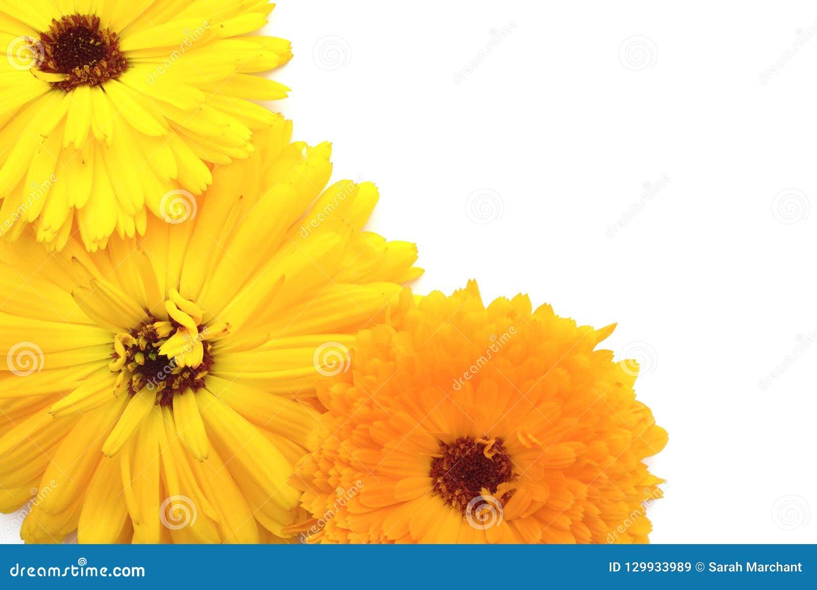 Fiori Gialli Arancio.Fiori Gialli Ed Arancio Luminosi Della Calendula Su Bianco