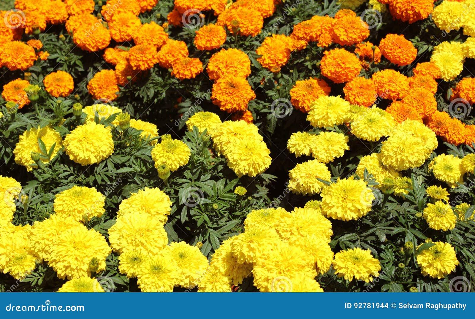 Fiori Arancioni E Gialli.Fiori Gialli Ed Arancioni Fotografia Stock Immagine Di Botanico