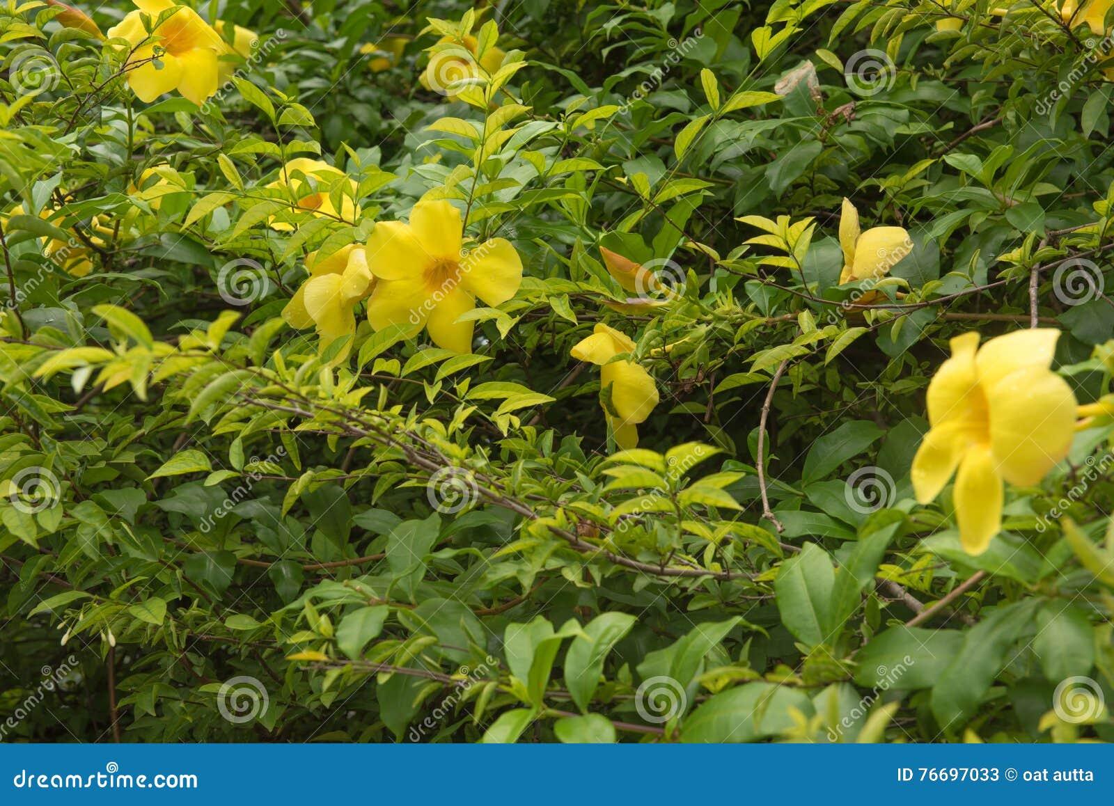 Arbusto A Fiori Gialli fiori gialli freschi che fioriscono sull'arbusto nel