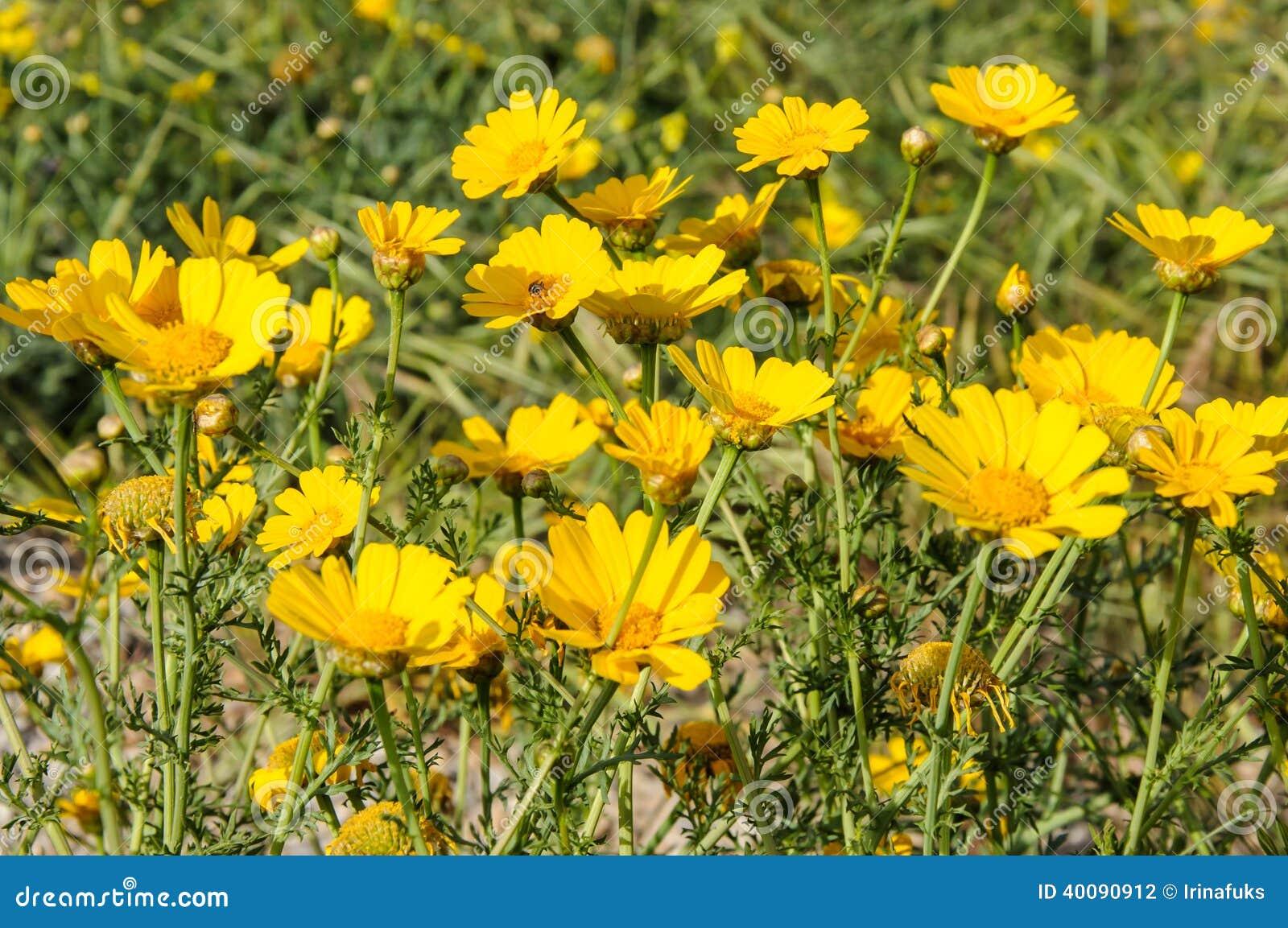 Fiori Gialli Nel Prato.Fiori Gialli Nel Prato Di Fioritura Di Primavera Fotografia Stock