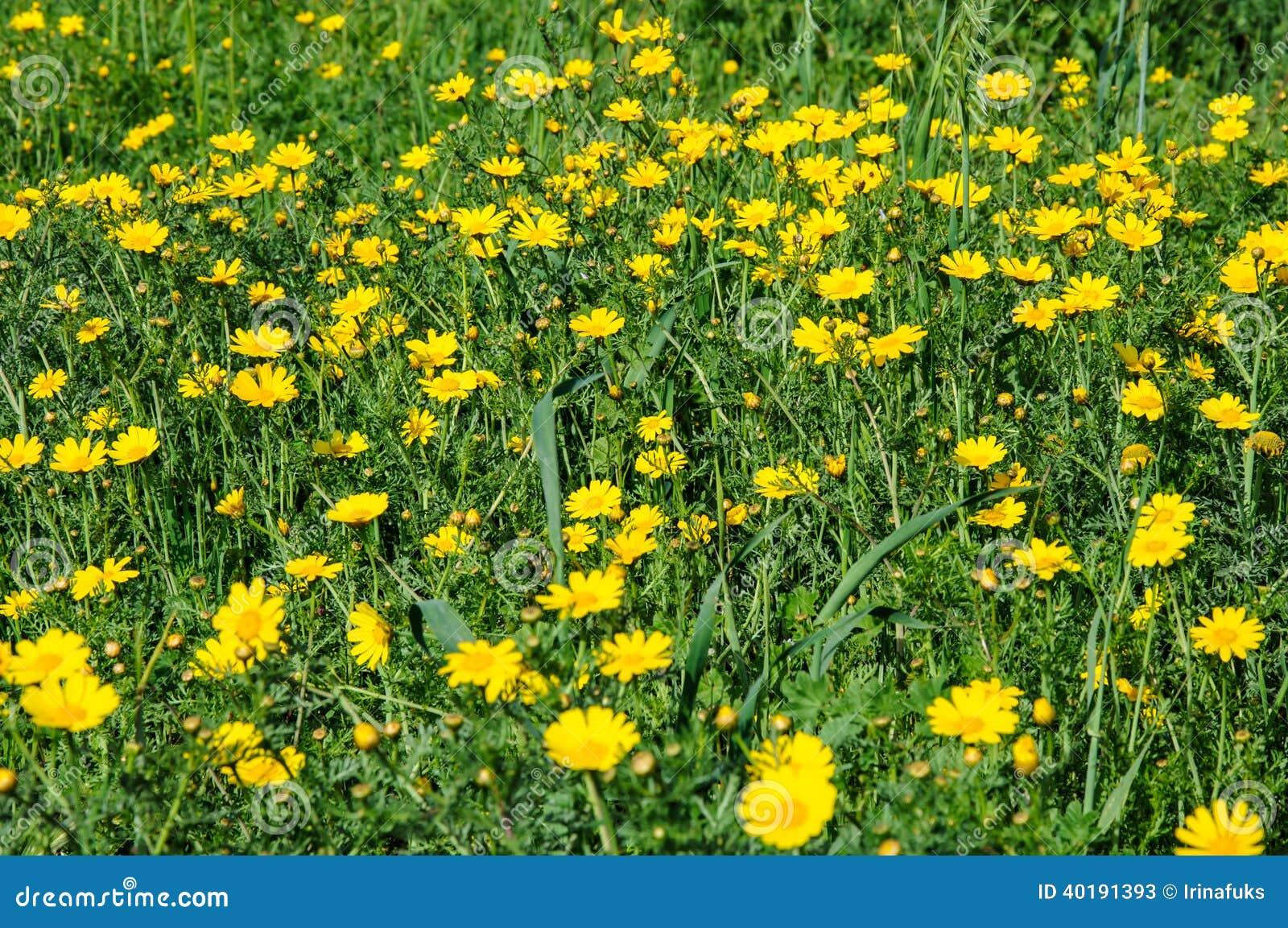 Fiori Gialli Nel Prato.Fiori Gialli Nel Prato Di Fioritura Di Primavera Immagine Stock