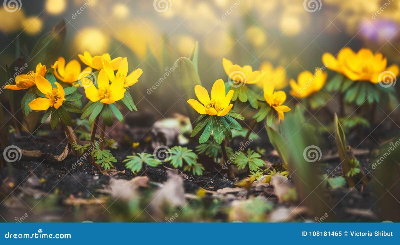 Fiori Gialli Foto.Fiori Gialli Selvaggi Del Ranuncolo Primavera Immagine Stock