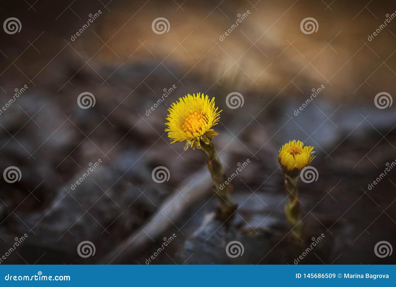 Fiori gialli su un primo piano vago del fondo Un coltsfoot di due fiori Pianta medicinale I primi fiori della molla nella foresta