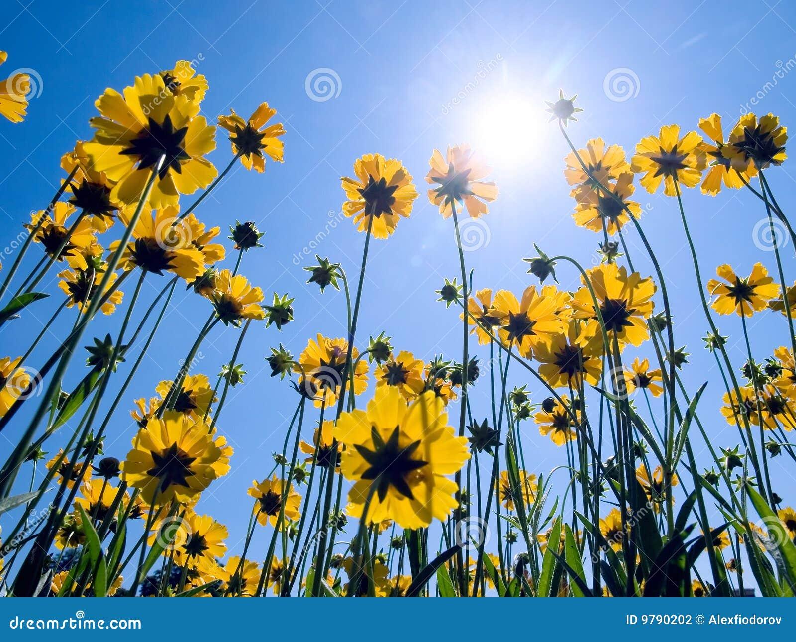 Fiori gialli sulla priorità bassa del cielo blu.