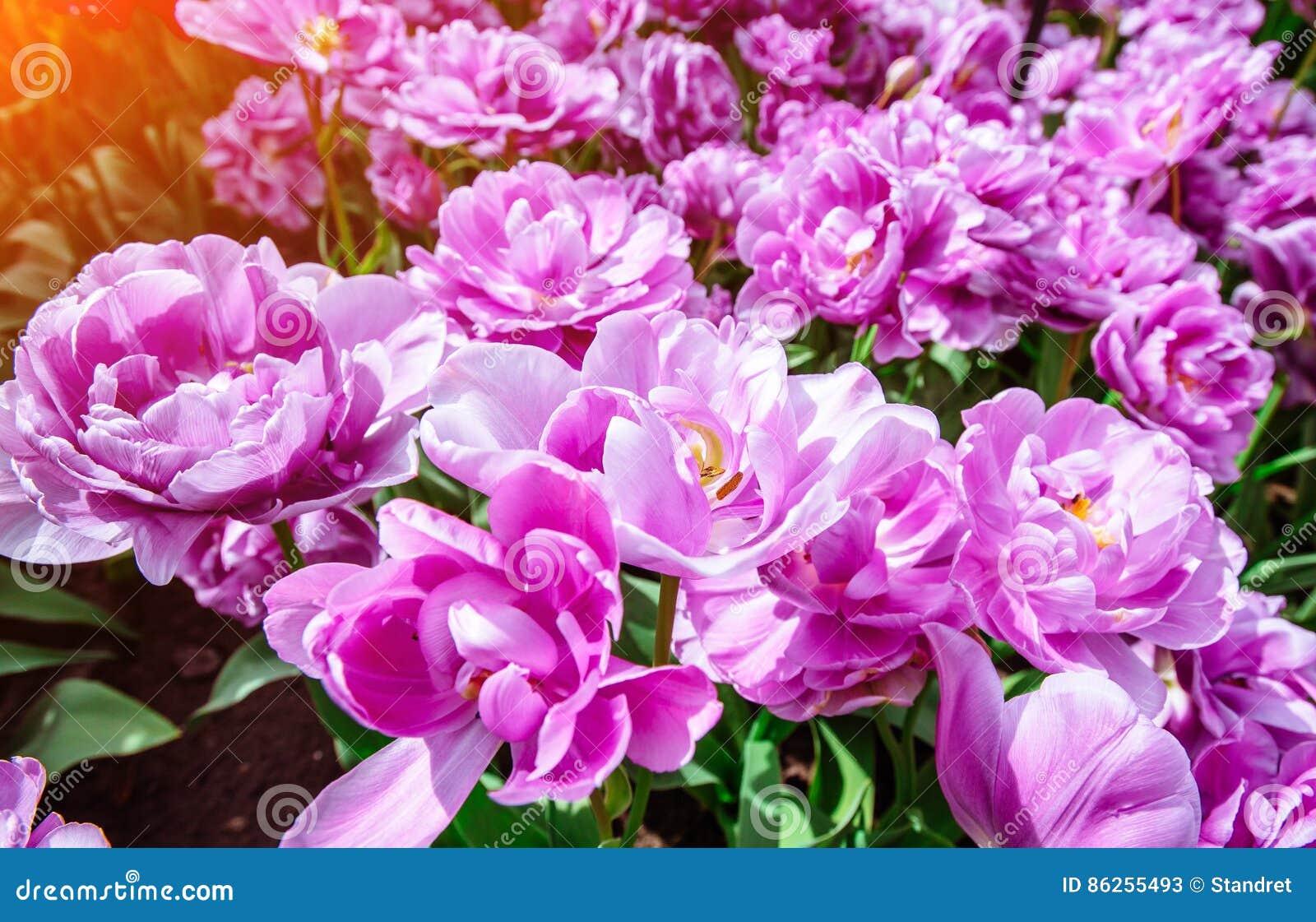 Fiori Meravigliosi.Fiori Meravigliosi Del Tulipano Nel Parco Di Keukenhof Immagine