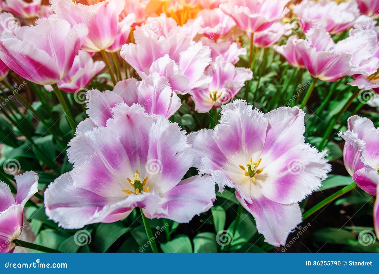 Fiori Meravigliosi.Fiori Meravigliosi Del Tulipano Nel Parco Di Keukenhof Fotografia