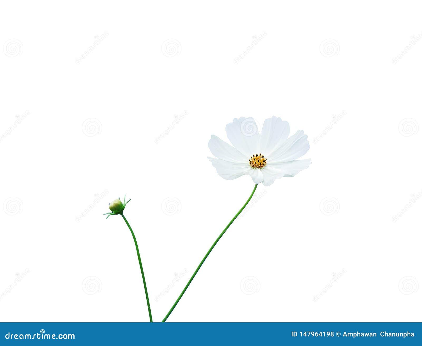 Fiori messicani dell aster o petalo bianco dell universo con il modello giallo del polline ed il gambo verde isolati su fondo con