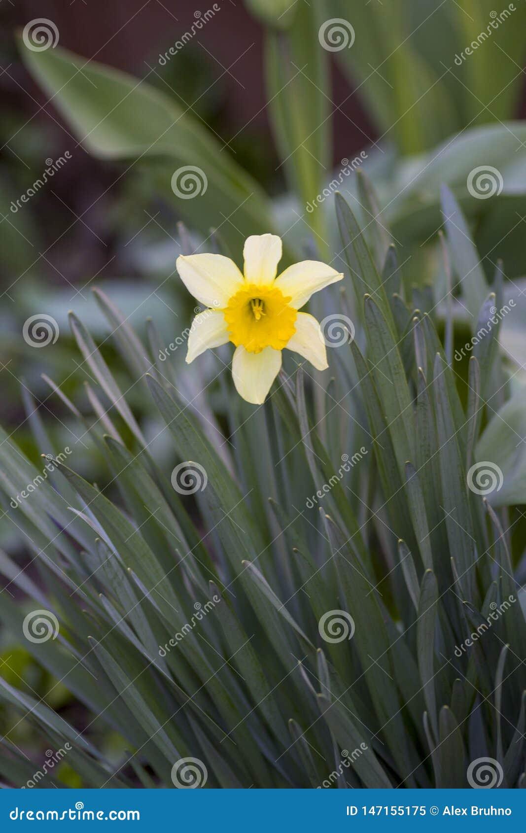 Fiori nel giardino Sorgente Fiore bianco Fiore giallo Narciso del fiore Erba Fondo verde