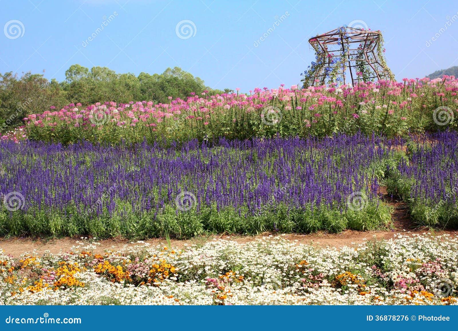 Download Fiori porpora di salvia fotografia stock. Immagine di fioritura - 36878276