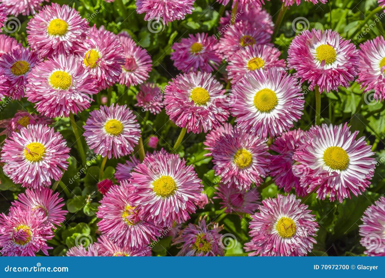 Fiori porpora e rosa della margherita