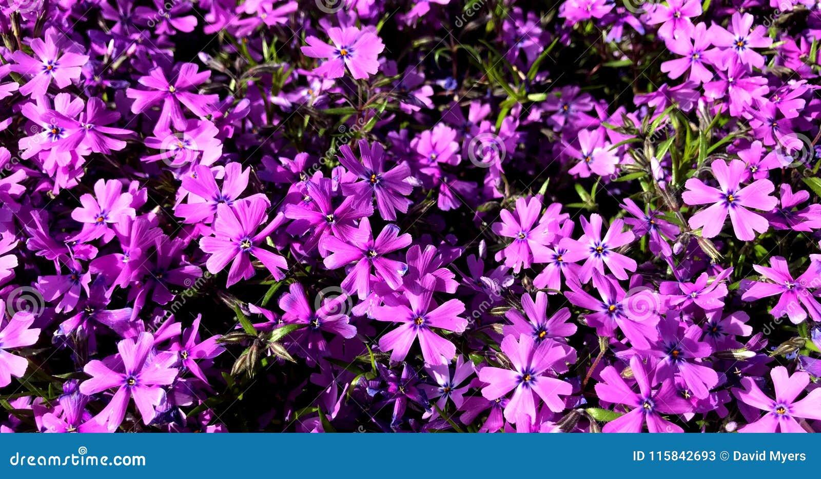Piante Perenni Da Fiore fiori, porpora, lavanda, piante perenni, ragruppate immagine