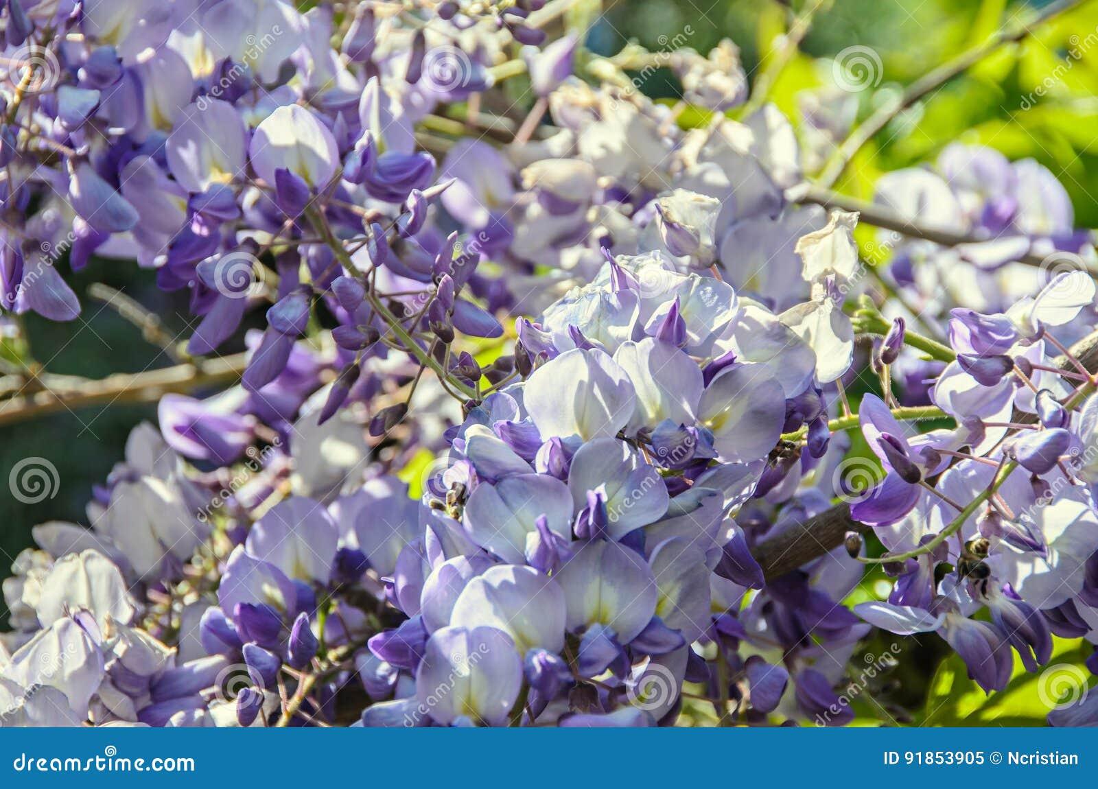 Fiori Rampicanti.Fiori Rampicanti Del Cespuglio Viola Malva Di Glicine Fine All