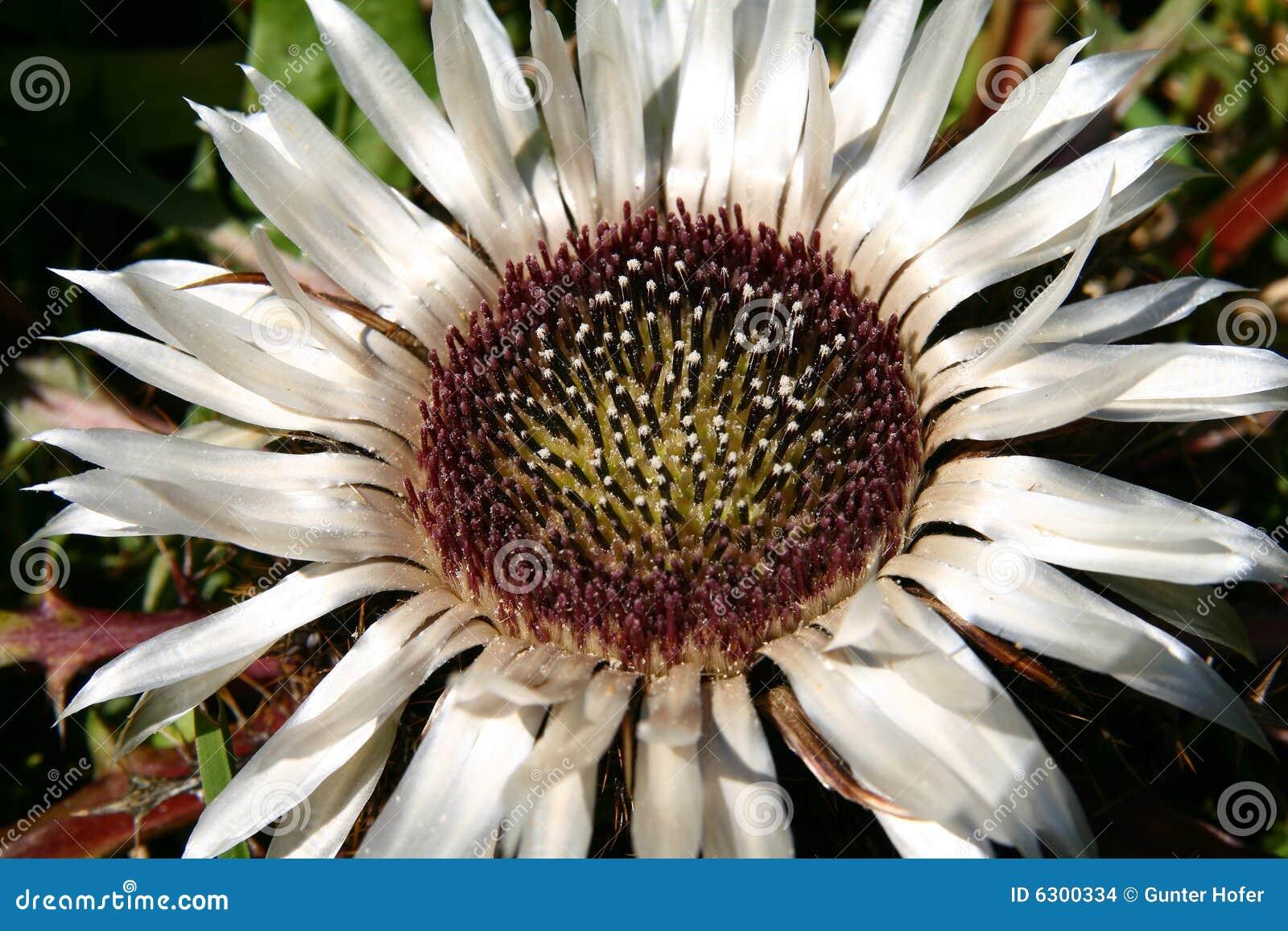 Bien-aimé Fiori rari fotografia stock. Immagine di montagne, fiore - 6300334 PO51