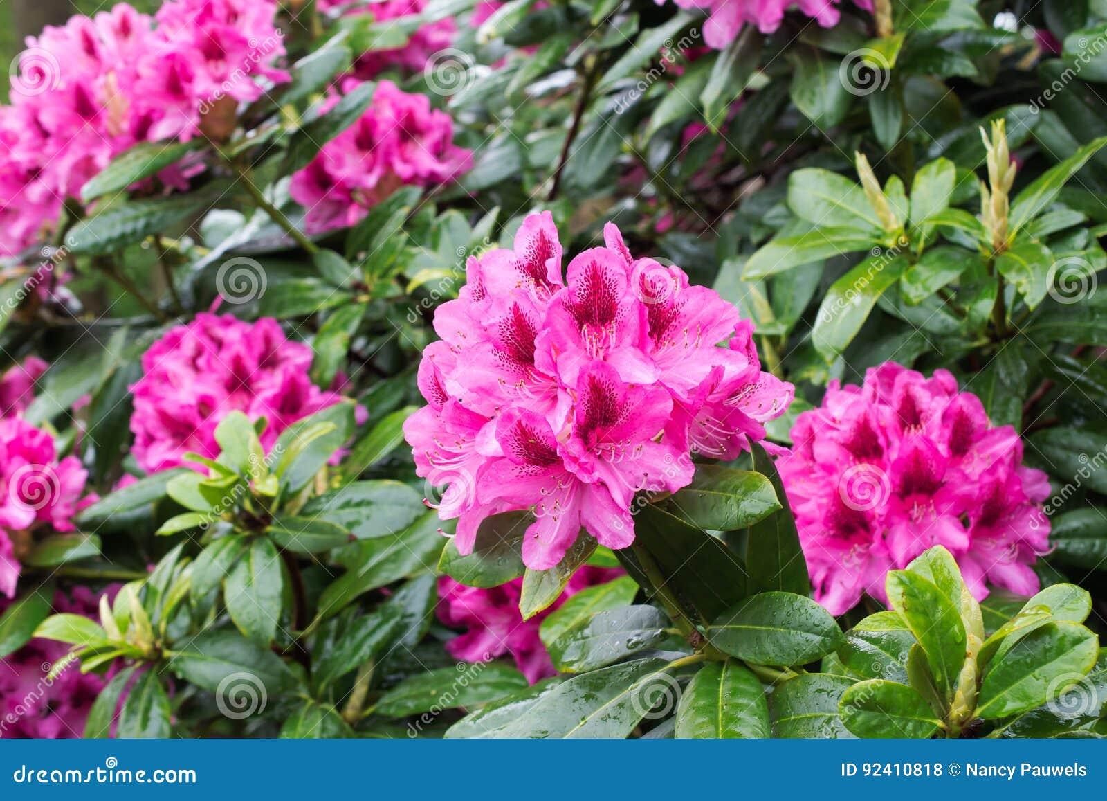 Cespugli Sempreverdi Con Fiori fiori rosa del cespuglio del rododendro fotografia stock