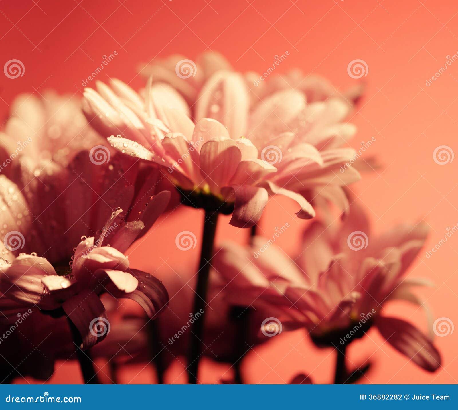 Download Fiori rosa del crisantemo fotografia stock. Immagine di fragilità - 36882282