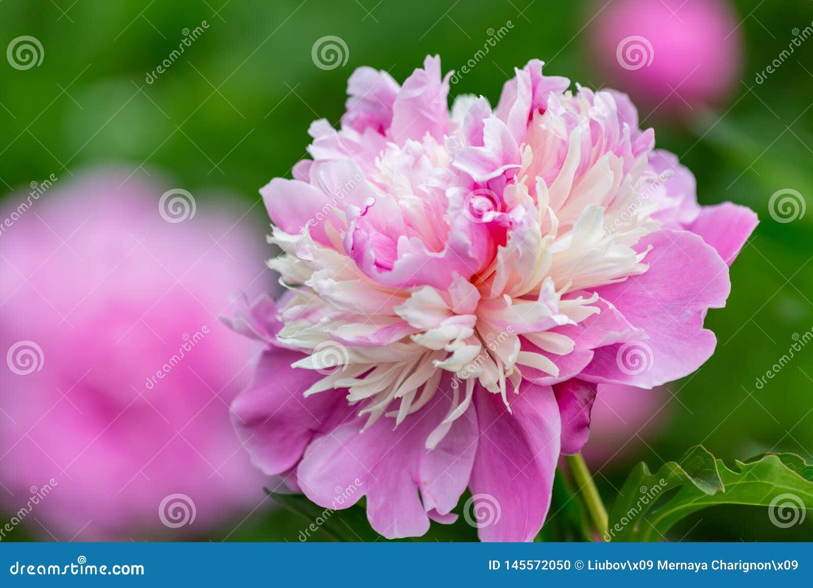 Fiori rosa della peonia in un frutteto