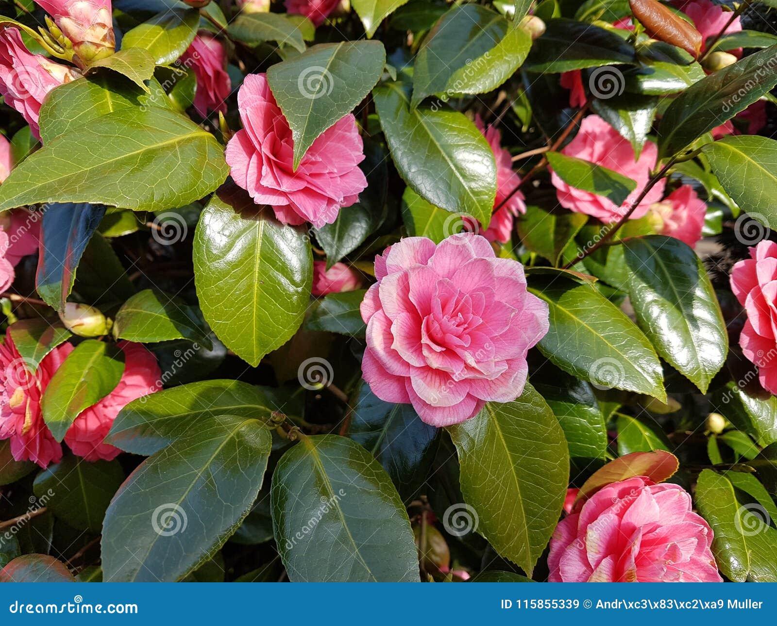 Pianta Fiori Rosa.Fiori Rosa Della Pianta Di Rosa Del Giapponese Della Camelia