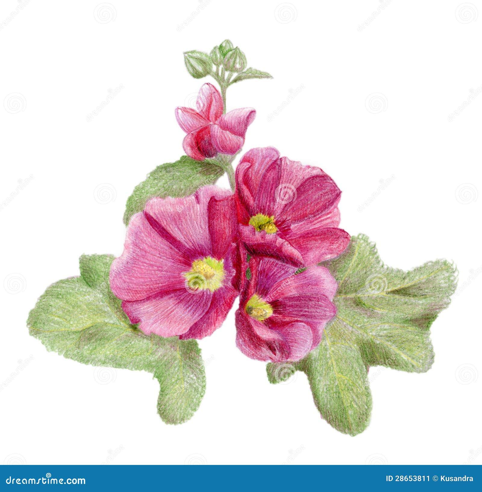 Fiori rosa disegnati a mano della malva illustrazione di for Fiori disegnati