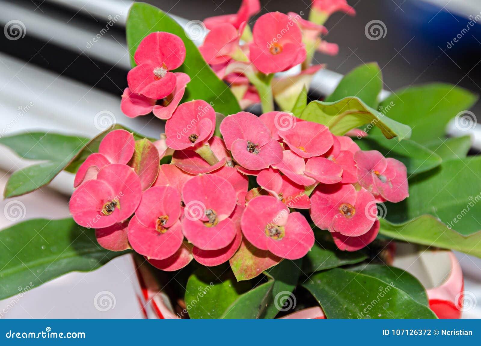 Fiori rosa rosso delleuforbia corona delle spine pianta di