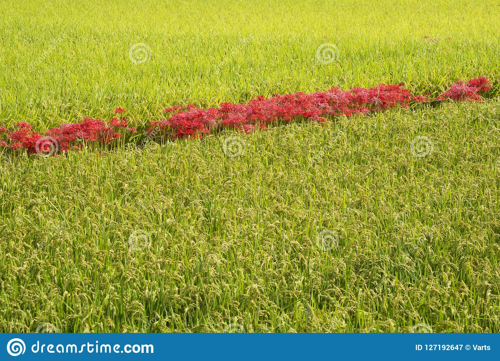 Fiori rossi allineati nel giacimento del riso