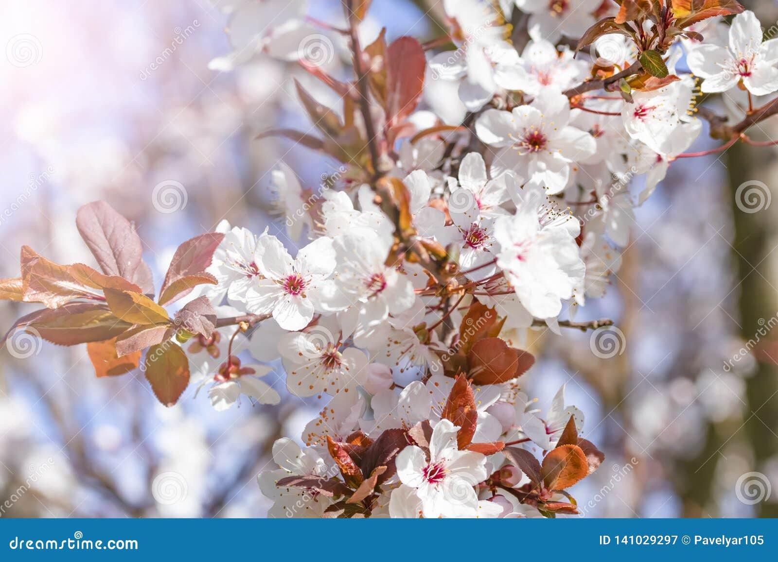 Fiori rossi bianchi del prunus cerasifera Ramo sbocciante con con i fiori della ciliegia susina albero di fioritura