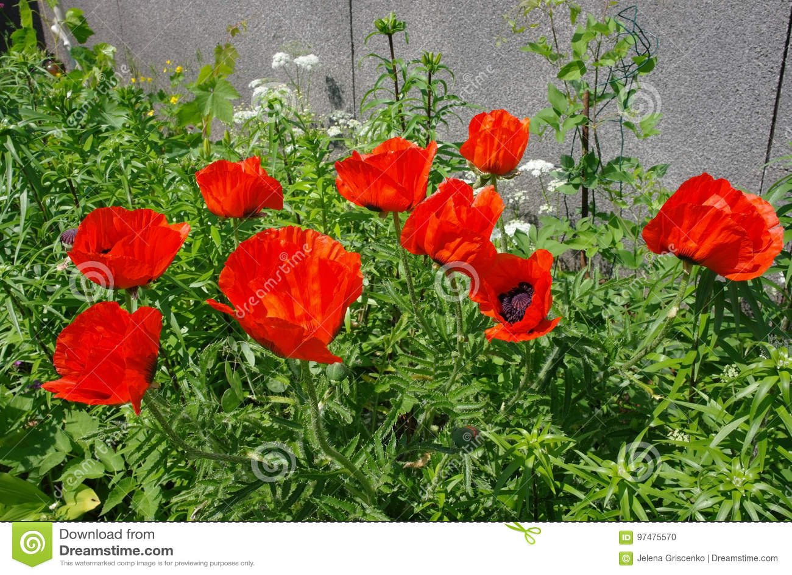 Fiori rossi dei papaveri nel giardino