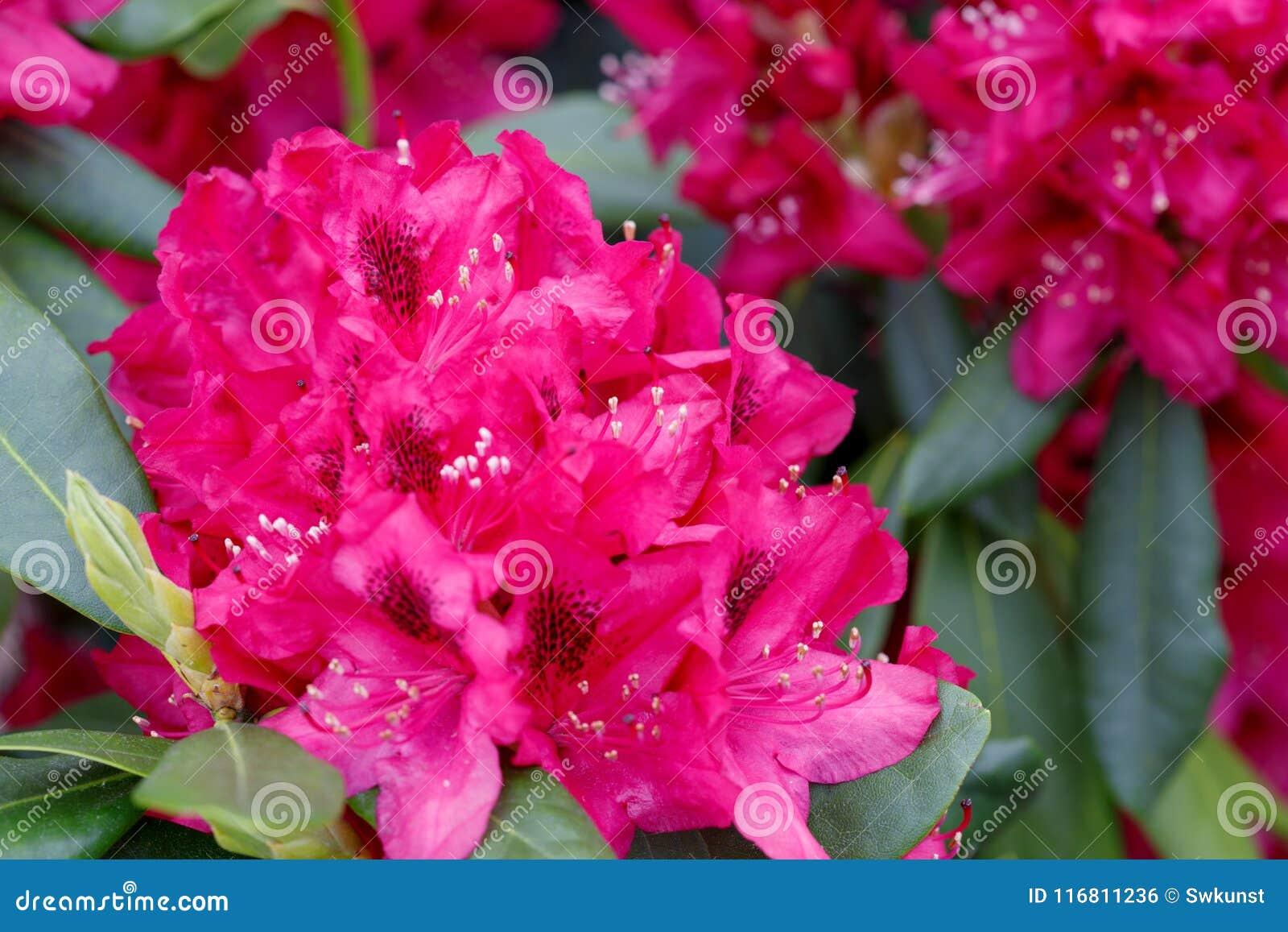 Fiori rossi delle azalee