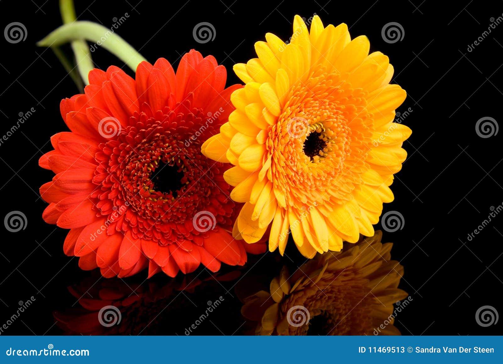 Fiori rossi e gialli del gerber fotografie stock for Fiori gerbere