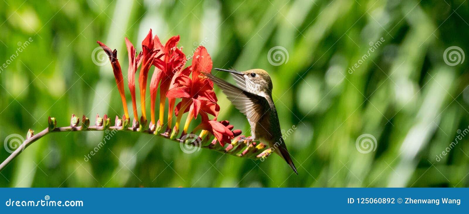 Fiori Rufous di Crocosmia e del colibrì