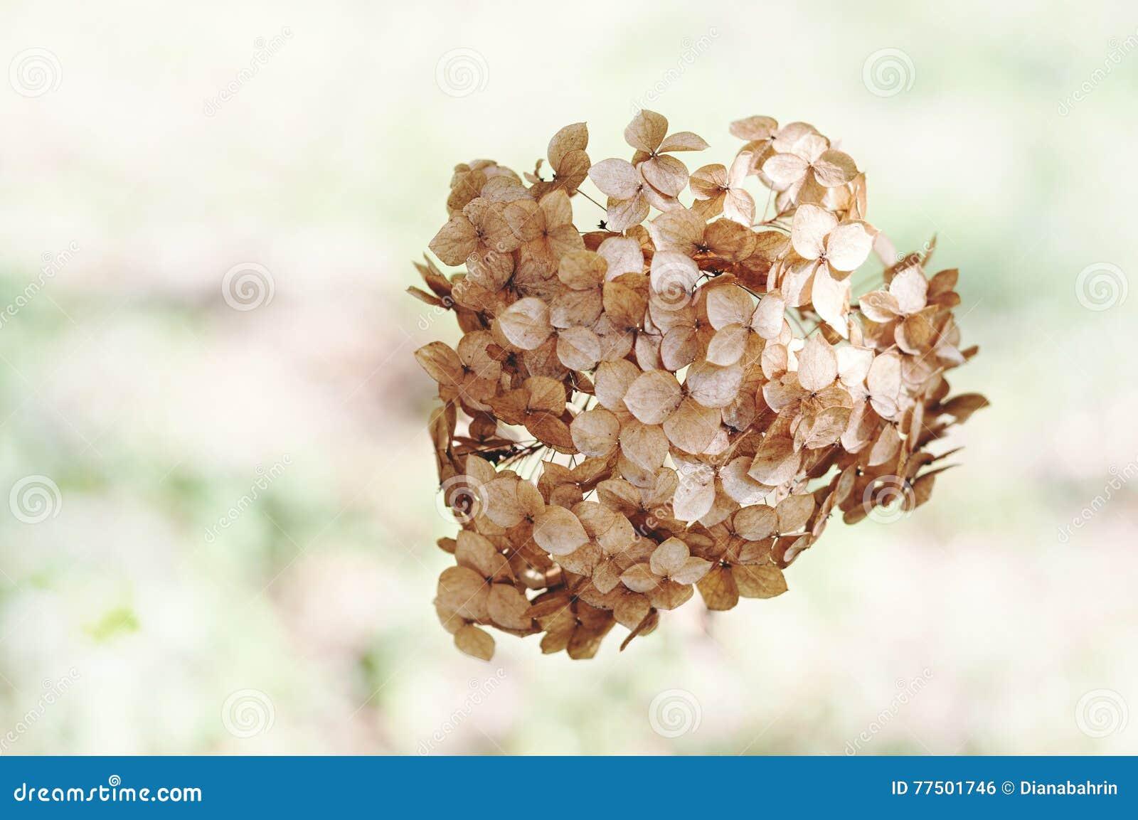 Fiori Di Ortensia Secchi fiori secchi dell'ortensia fotografia stock. immagine di